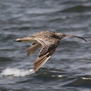 Eastern Curlew sees me approach