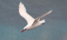 Red-tailed Tropic Bird in flight (2)