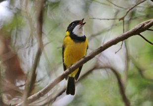 Golden Whistler (male) whistling