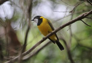 Golden Whistler (male)