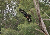 Wedge-tailed Eagle in flight with prey