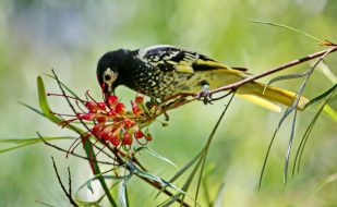 Regent Honeyeater feeding on Grevillea flower at Zoo.