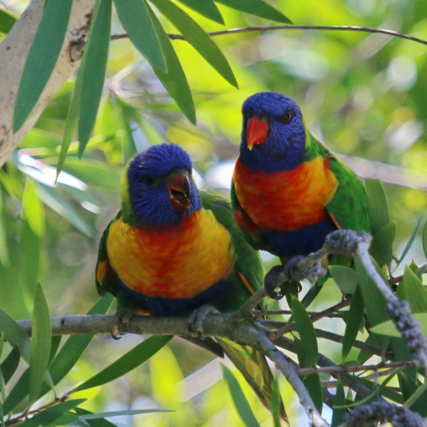 Parent with juvenile Rainbow Lorikeet