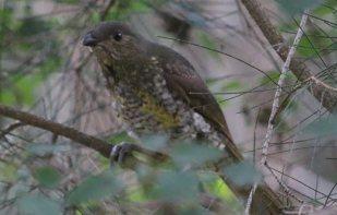 Juvenile Satin Bowerbird