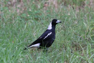 Male Eastern (Black-backed) Magpie