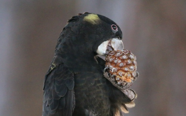 Yellow-tailed Black Cockatoo munching