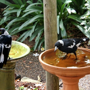 1- 2 male Magpies resting in bird baths