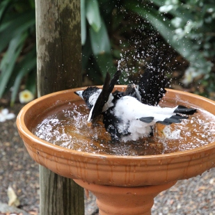 8 - alpha Magpie in full wash mode (baptisimo)