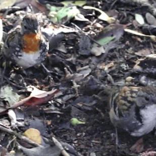 Female and Male Australian Logrunners