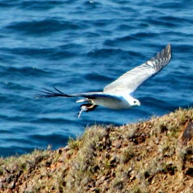 Sea-Eagle with fish
