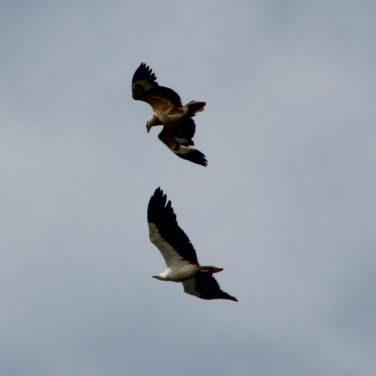 Initially parent flies beneath fledgling