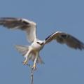 Black-shouldered Kite takingoff