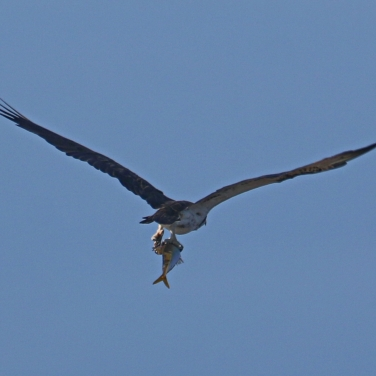 Eastern Osprey with fish