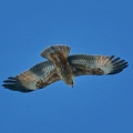 Little Eagle juvenile light morph inflight