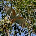 Pacific Baza inflight
