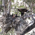 Wedge-tailed Eagles nest withyoung