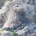 White-bellied Sea Eagle's nest withchick